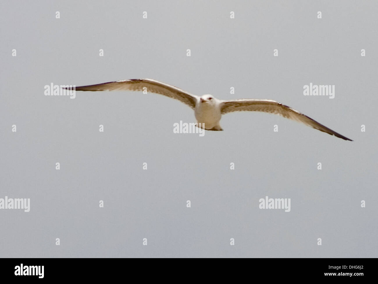Herring Gull, Larus argentatus, flying in the sky Stock Photo
