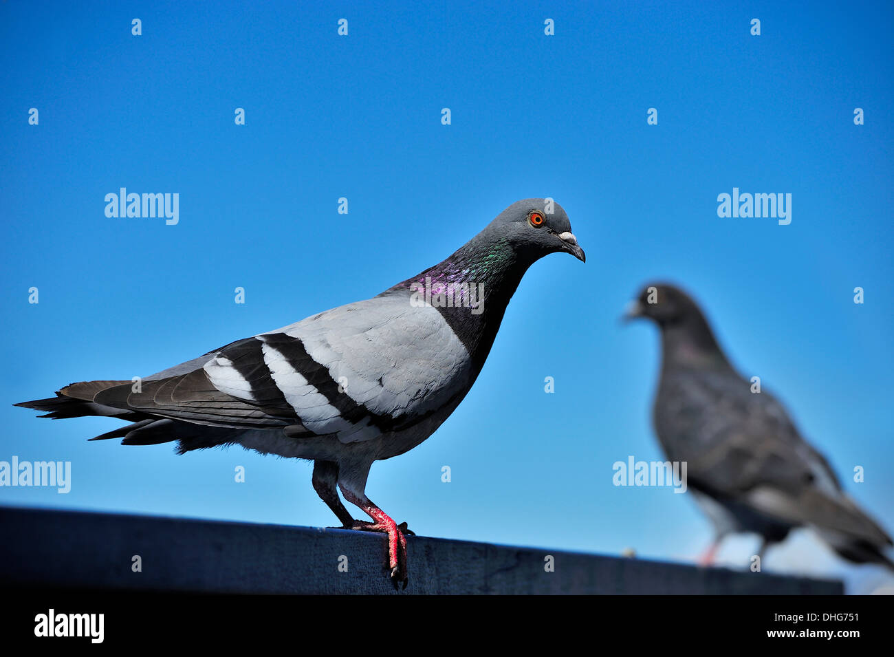 A common Rock Pigeon - Stock Image