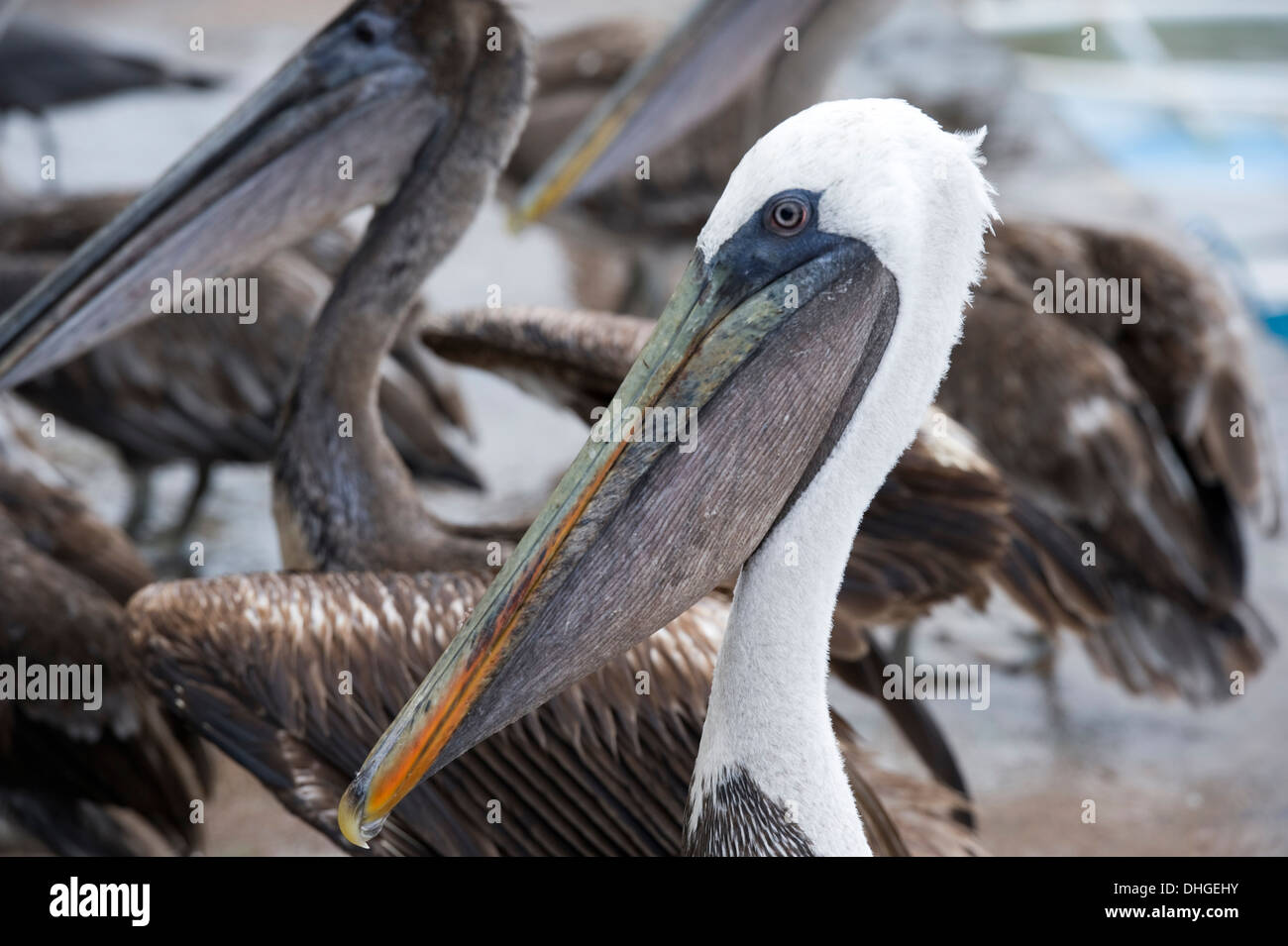 Pelican at Santa Cruz island Galapagos Islands Ecuador Stock Photo