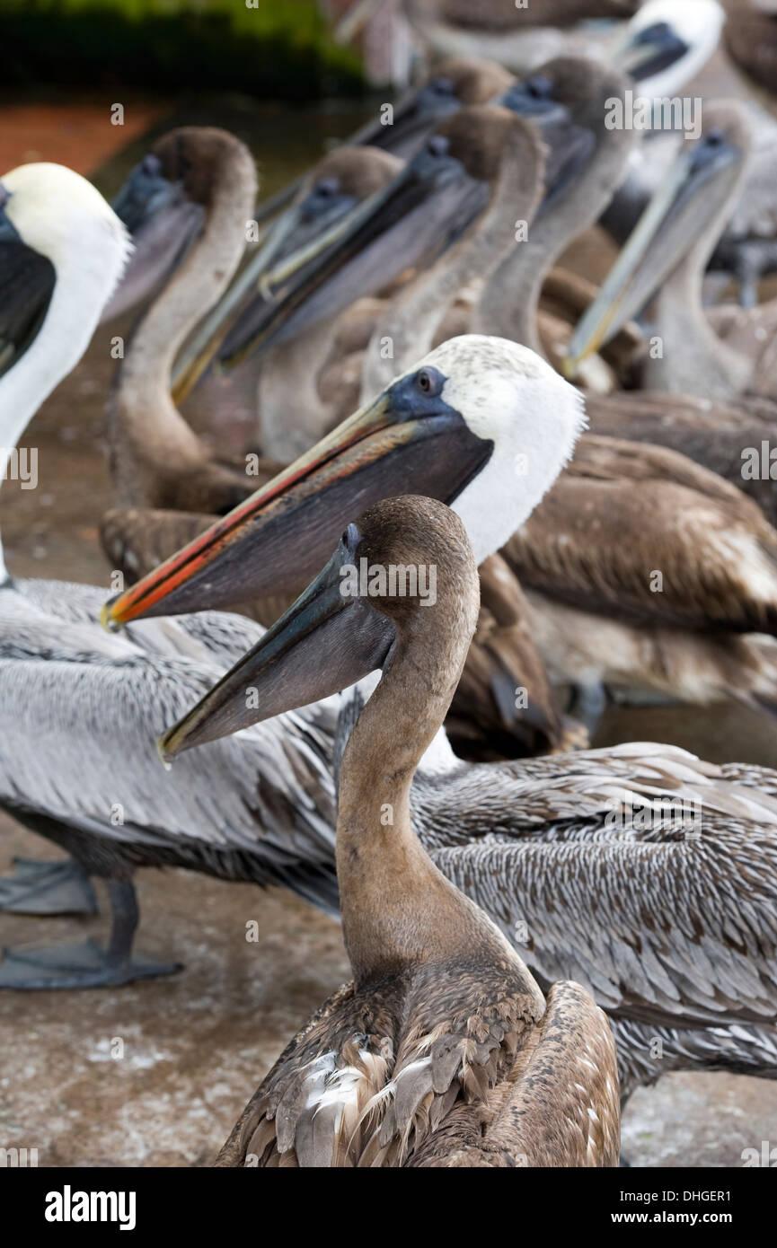 Pelican at Santa Cruz island Galapagos Islands Ecuador Stock Photo