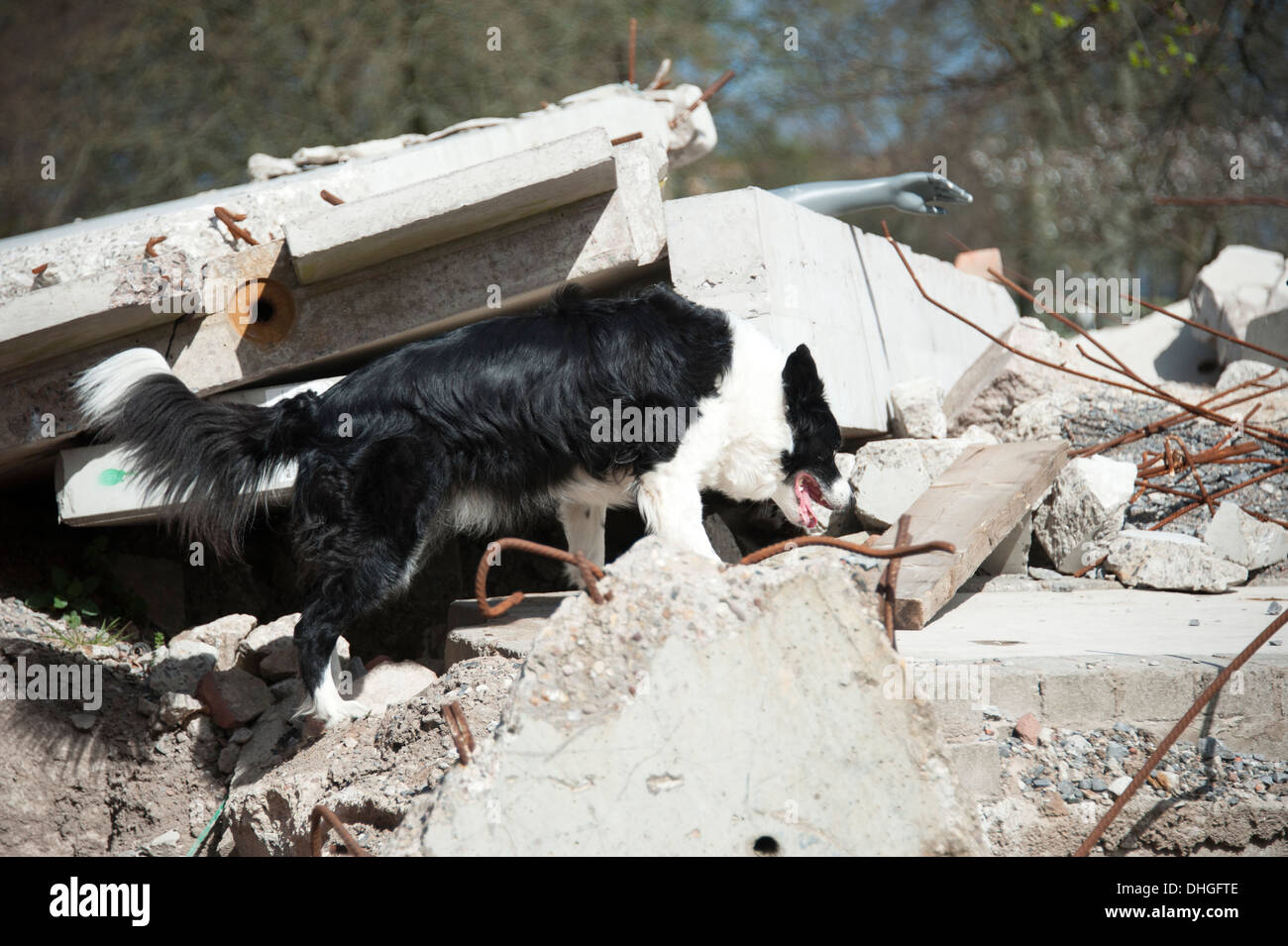 Fire & Rescue USAR Canine Dog sniffer search - Stock Image
