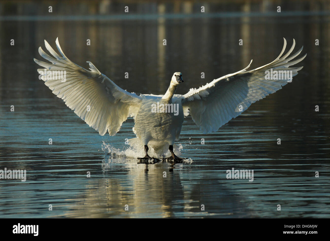 Trumpeter swan on final approach for landing in lagoon-Esquimalt Lagoon, Victoria, British Columbia, Canada. - Stock Image