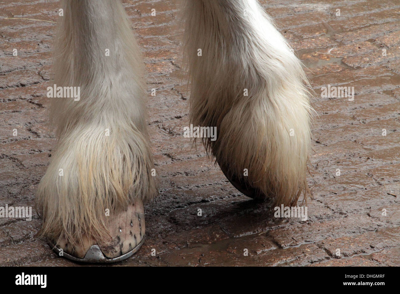 Shire horse  hooves - Stock Image