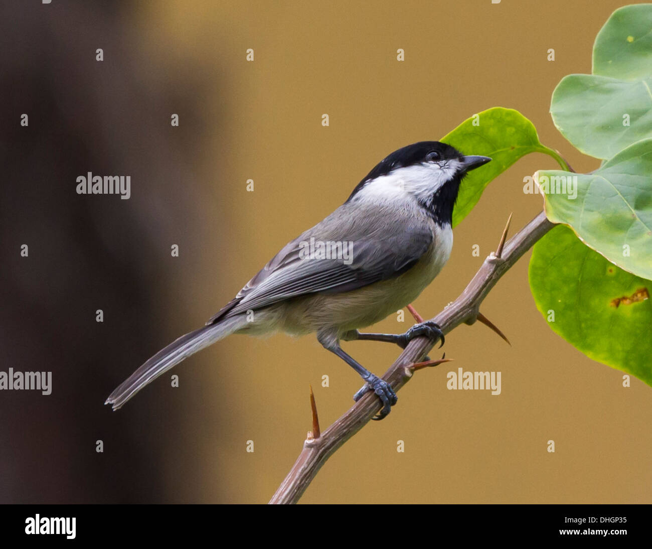 Carolina Chickadee perched on a Bougainvillea branch. - Stock Image