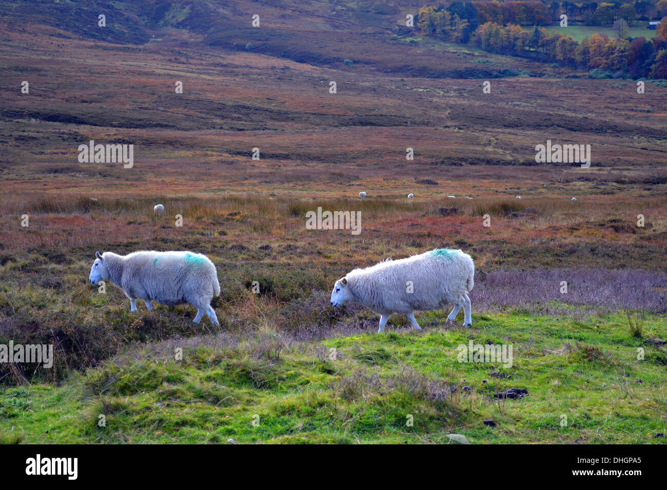 Two sheep in the Wicklow Hills Ireland - Stock Image