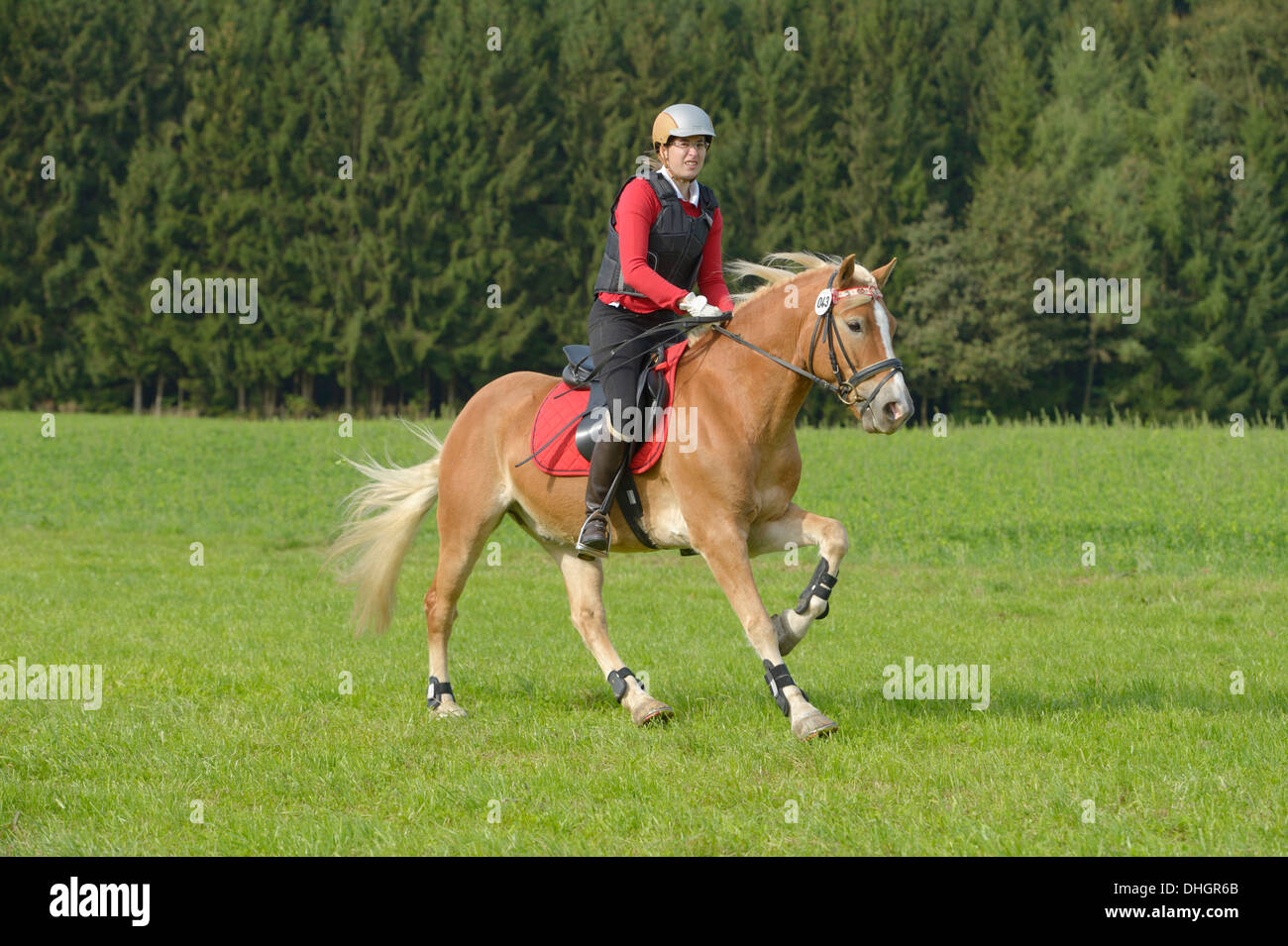 Rider on Haflinger horse during an entry level cross country competition - Stock Image