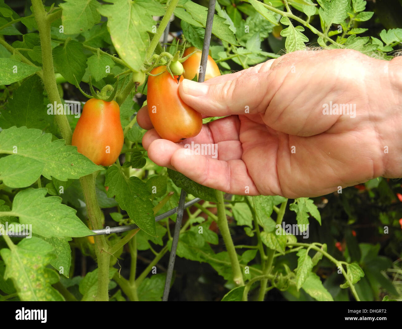 The retiree has plenty of time to tend to his organic garden. - Stock Image