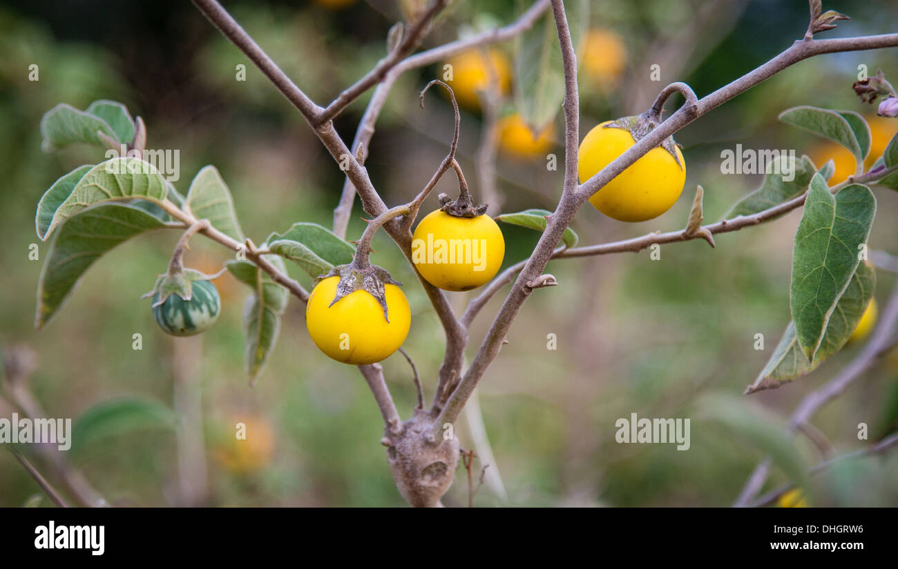 Yellow persimmon like fruits on a shrub in a Kenyan garden - Stock Image