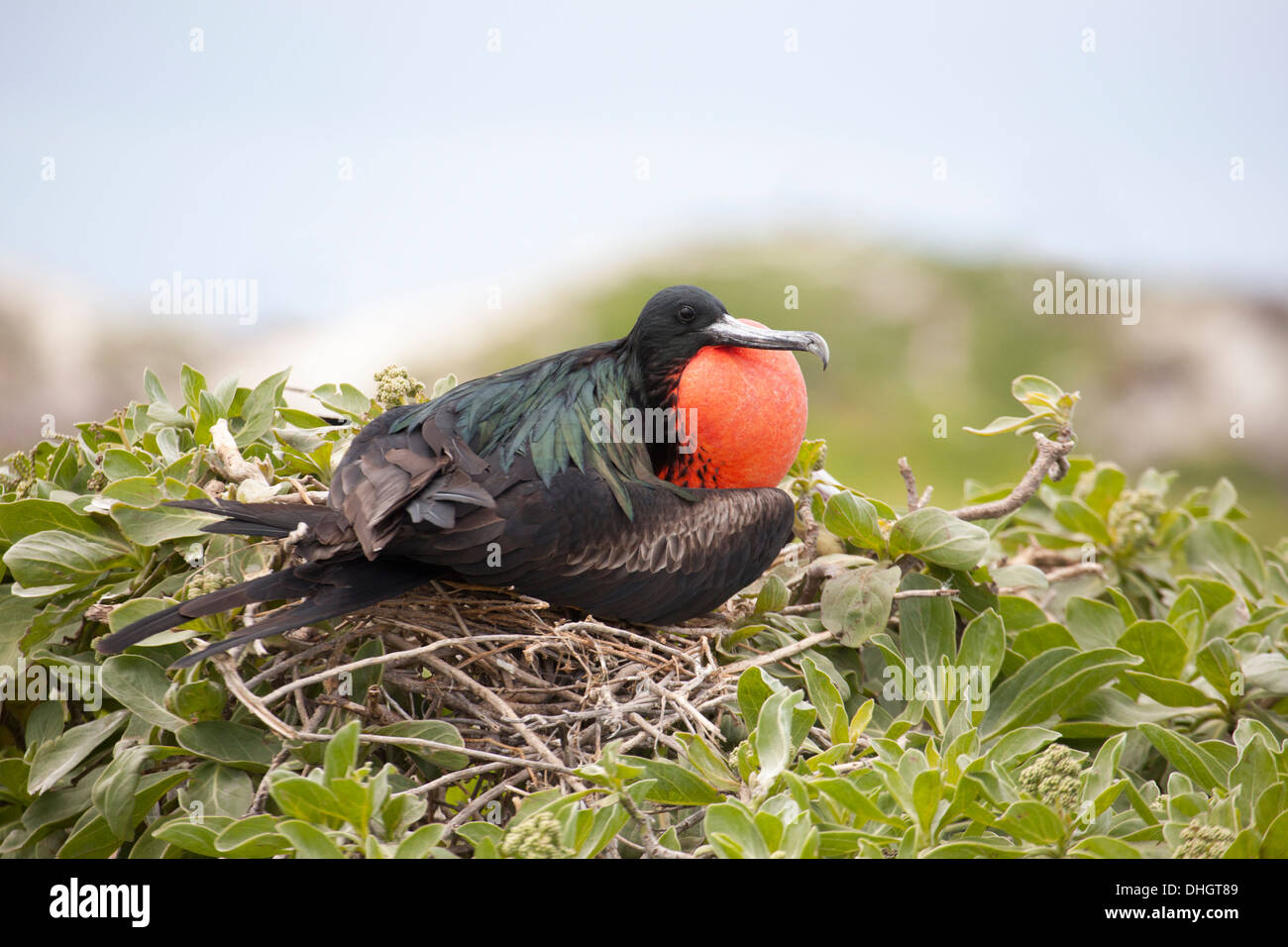 Great Frigatebird (Fregata minor palmerstoni) male with gular pouch inflated to attract females during courtship display - Stock Image