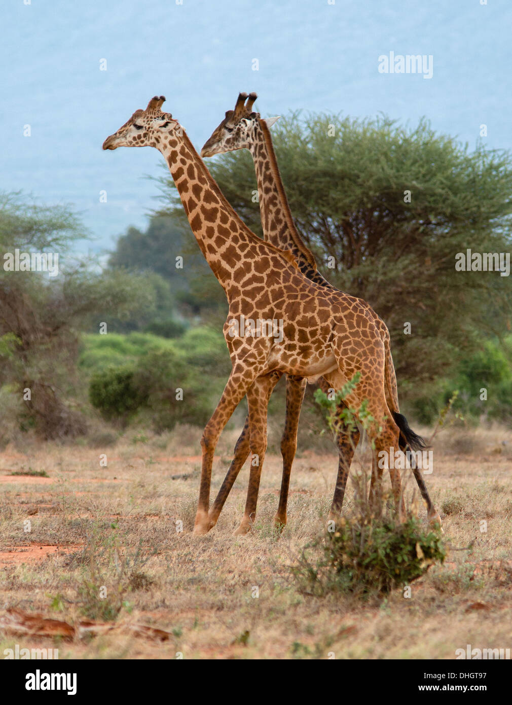 Male Masai giraffes sparring in a mock fight Tsavo National Park Southern Kenya - Stock Image