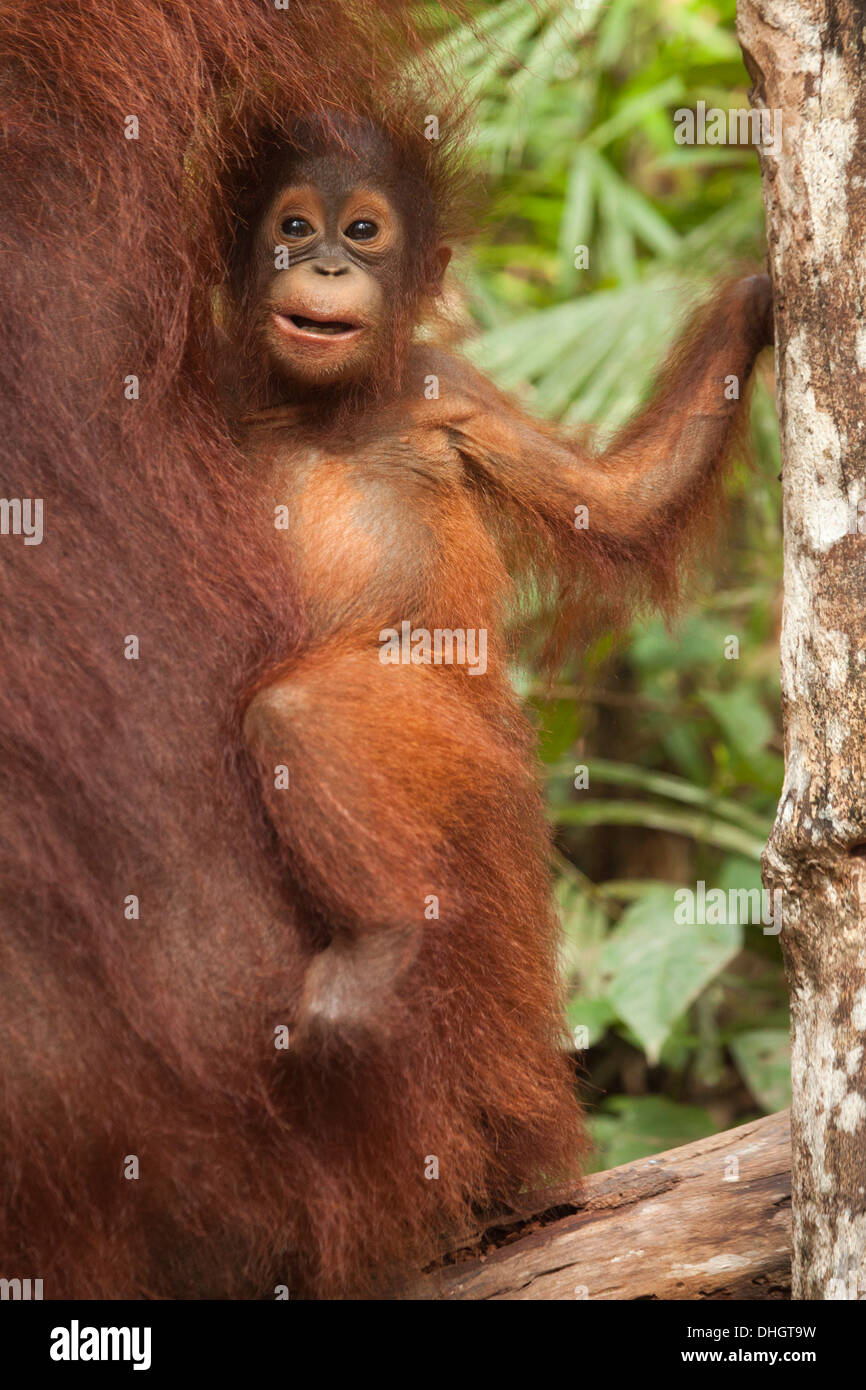 Wild Bornean Orangutan (Pongo pygmaeus) baby clinging to mother's fur - Stock Image
