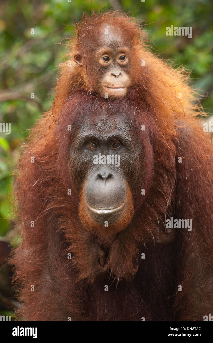 Wild Bornean Orangutan (Pongo pygmaeus) baby with arms around mother's neck - Stock Image