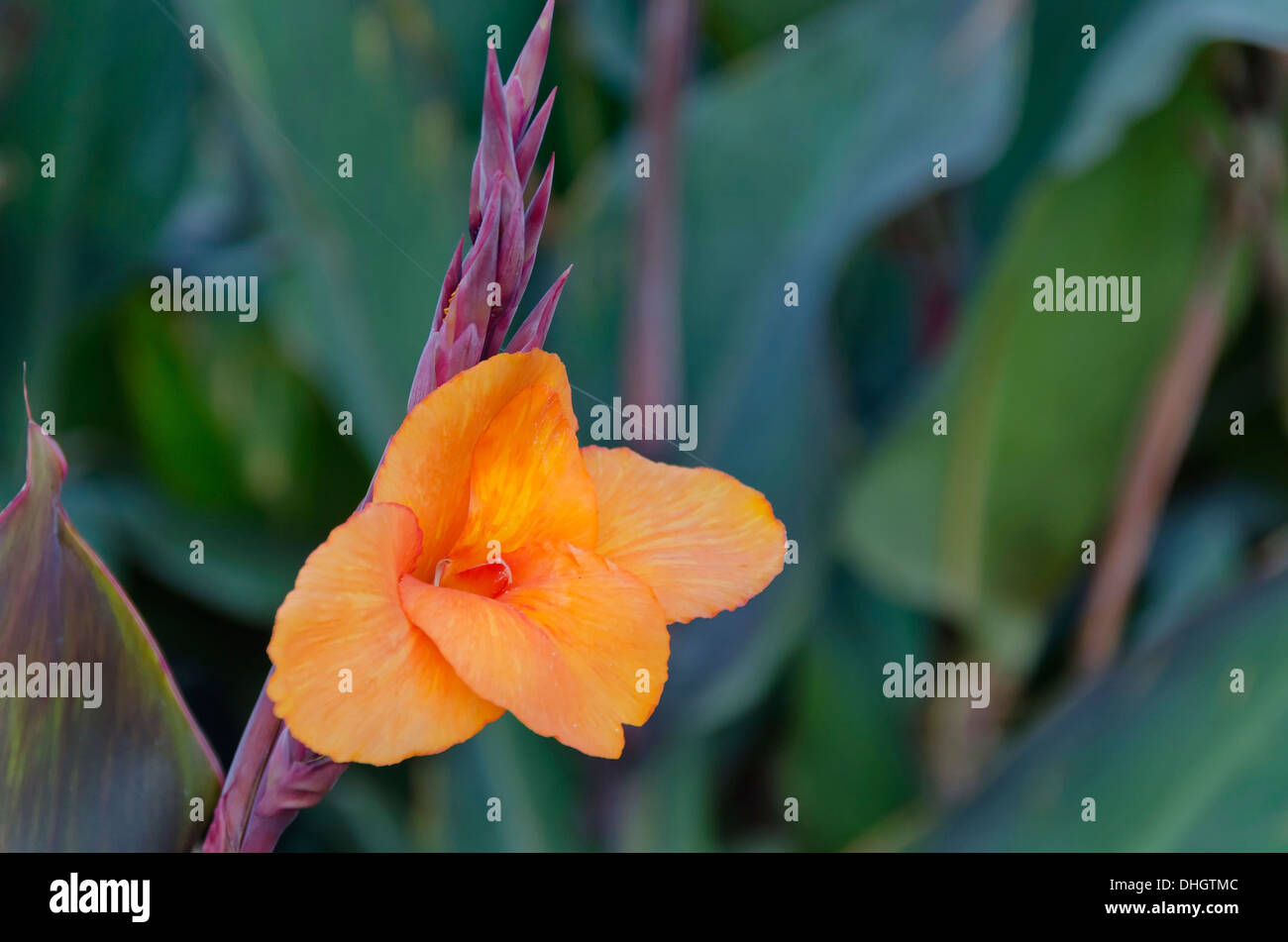 Radiant Canna Lily Blossom in garden - Stock Image