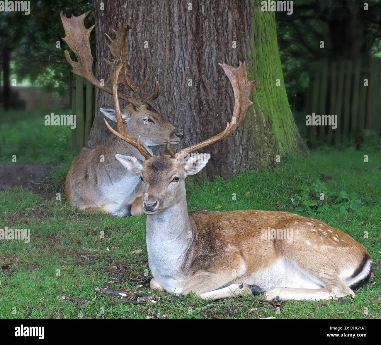 Deer at Dunham Massey, Altrincham, Cheshire, England, UK WA14 4SJ - Stock Image