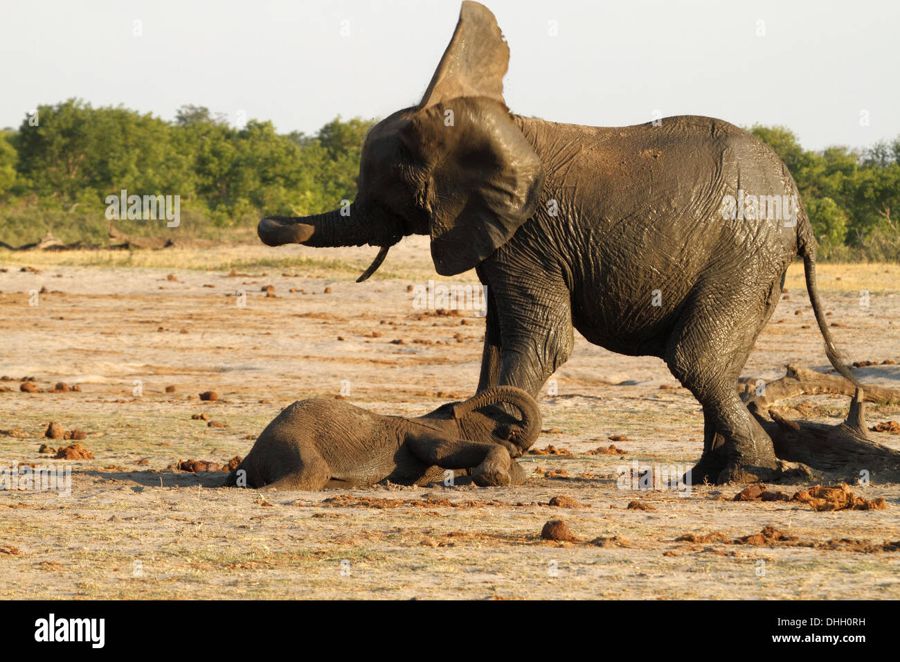 African elephants, mother shaking head, infant laying on fround - Stock Image