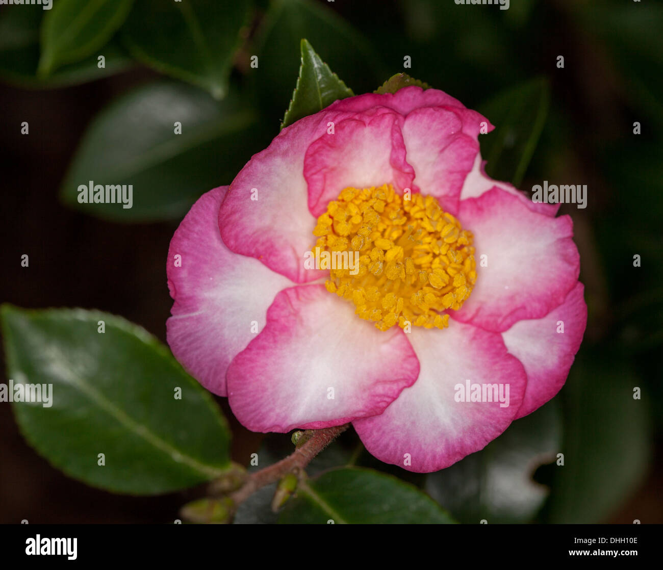 Spectacular pink and white flower and dark green leaves of unusual Camellia sasanqua cultivar 'Something Special' on dark background - Stock Image