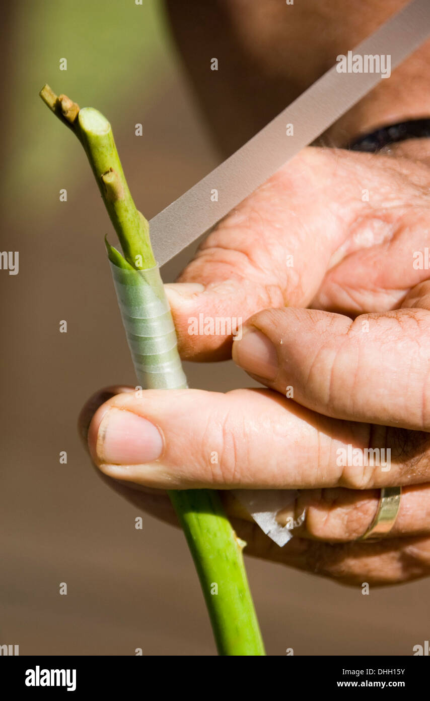 Hands holding scion and root stock of fruit tree and demonstrating wrapping grafting tape around the green plant material - Stock Image