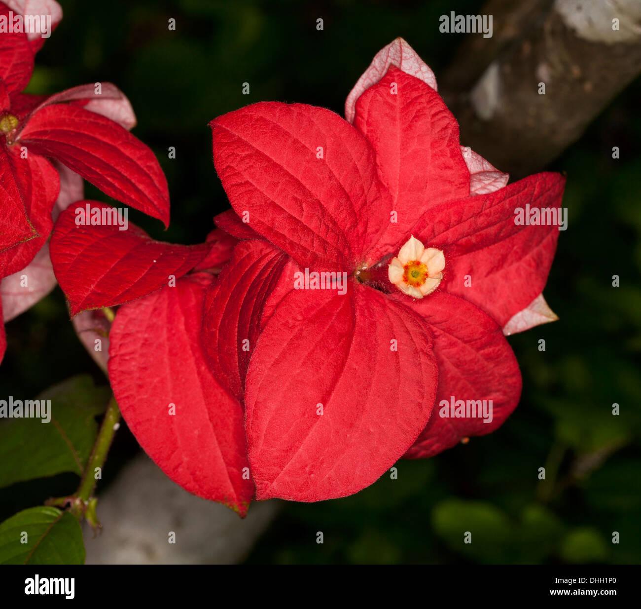 Spectacular bright red bracts and tiny white flower of new unusual spectacular bright red bracts and tiny white flower of new unusual cultivar of sub tropical shrub mussaenda capricorn dream mightylinksfo