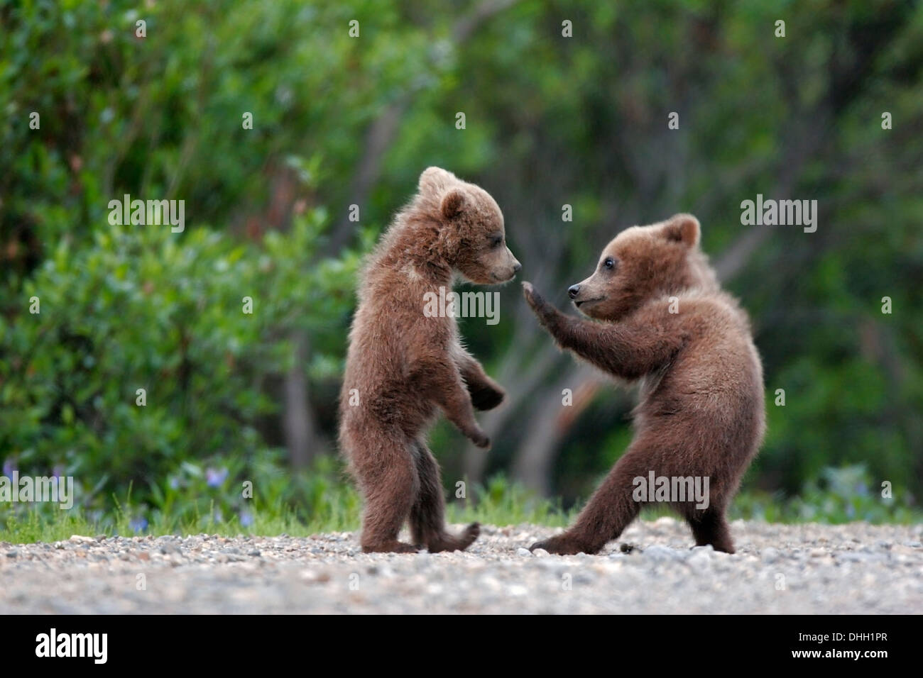 Spring cubs, grizzly or brown bear (Ursus arctos) in Denali National Park, Alaska. - Stock Image