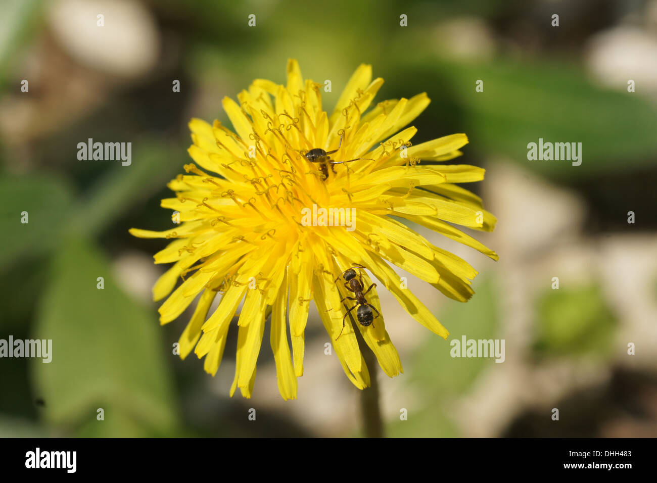 Dandelion, flower with ants - Stock Image