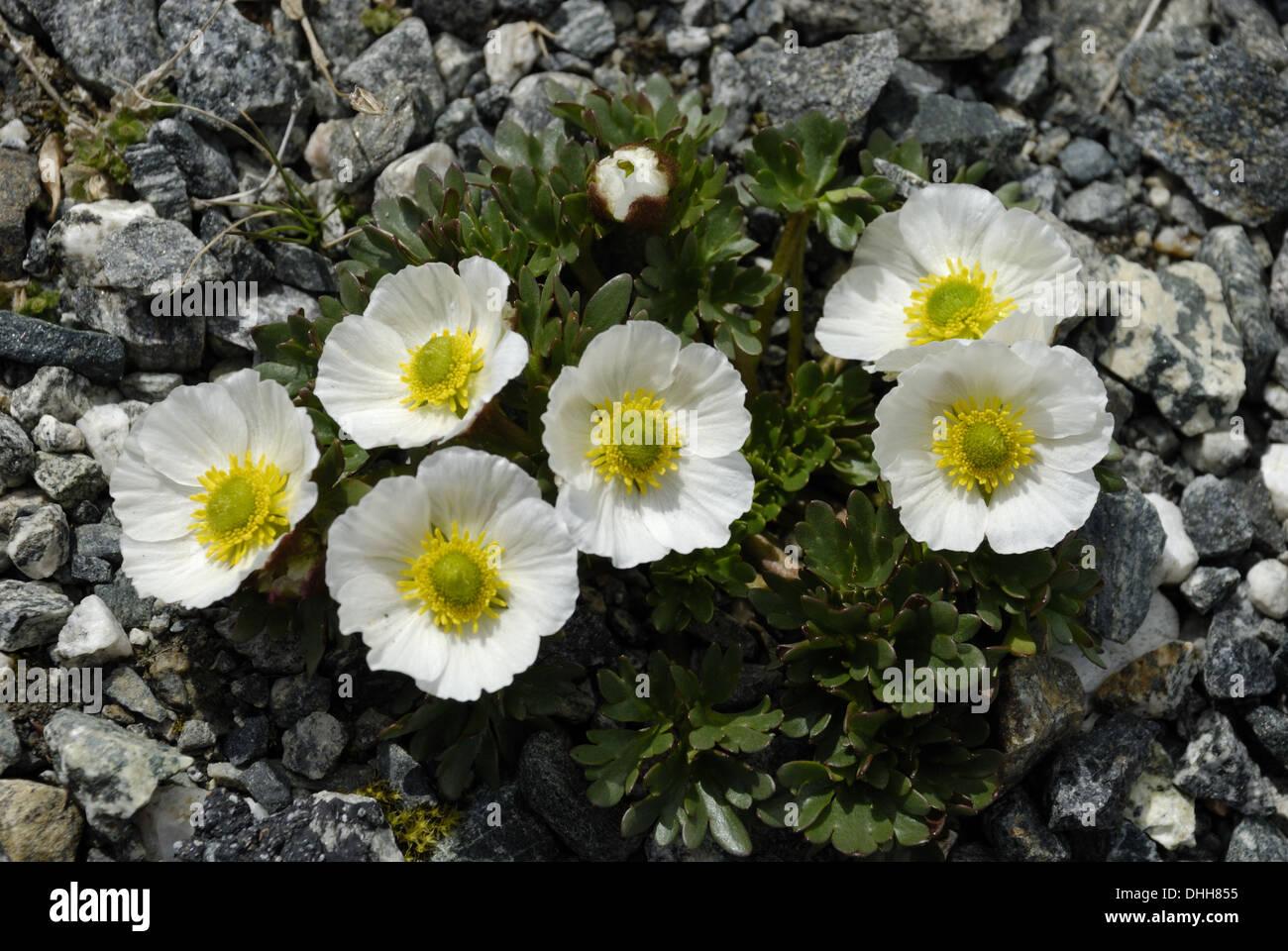 Ranunculus glacialis - Stock Image