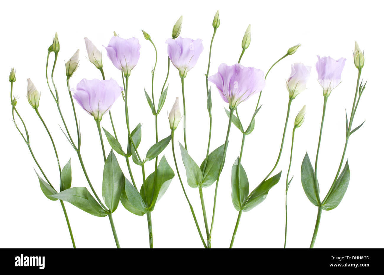 Pale lilac Lisianthus flowers arranged in a line isolated on white background with shallow depth of field. - Stock Image