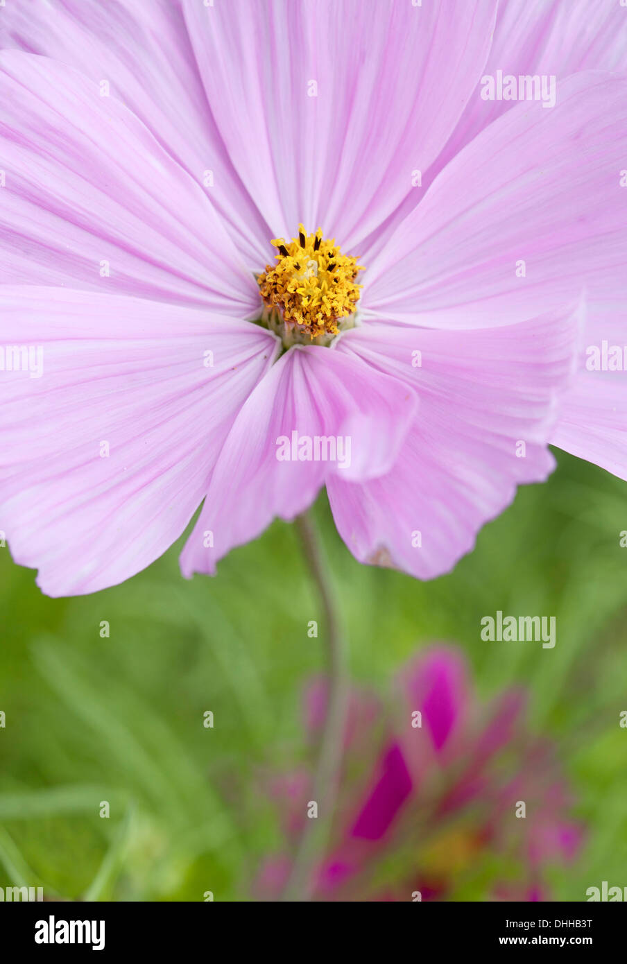 Close up of Pink Cosmos Flower with soft focus and shallow depth of field. - Stock Image