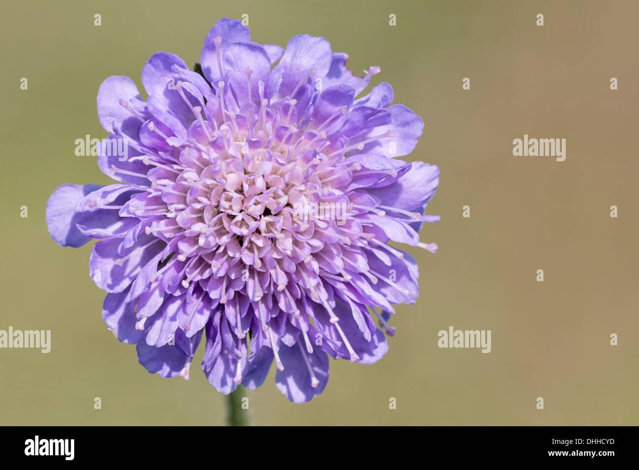 Field Scabious flower head detail - Stock Image