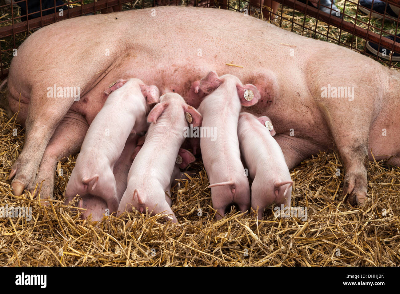 LANDRACE PIGLETS WITH TAGS IN EARS FEEDING FROM SOW IN PEN AT AGRICULTURAL SHOW IN MONMOUTH WALES UK - Stock Image