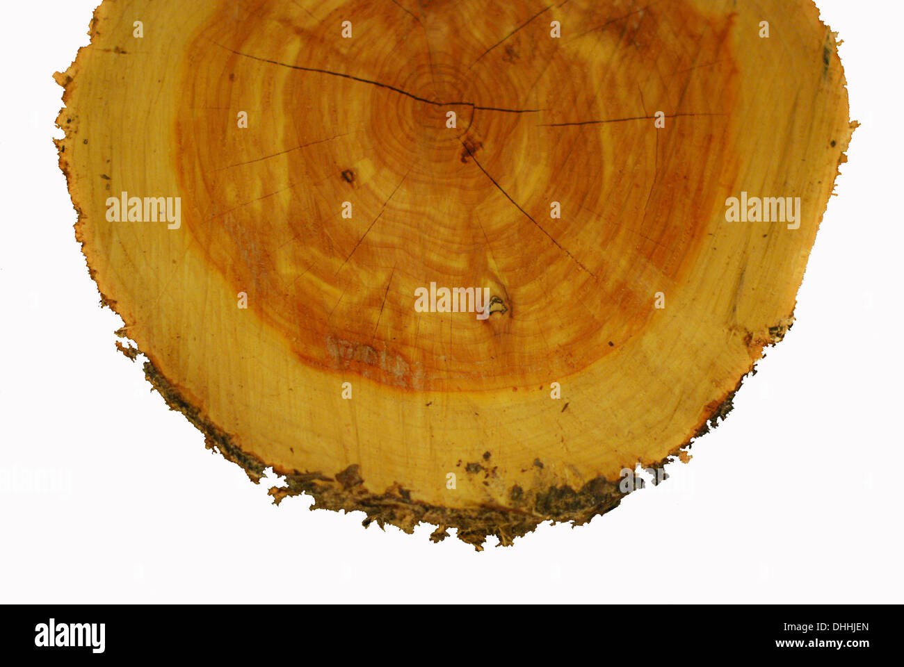 Cross section of a cedar tree trunk - Stock Image
