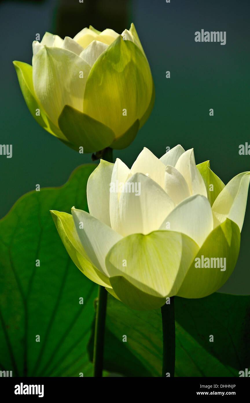 Two White Lotus Flowers Nelumbo Stock Photos Two White Lotus