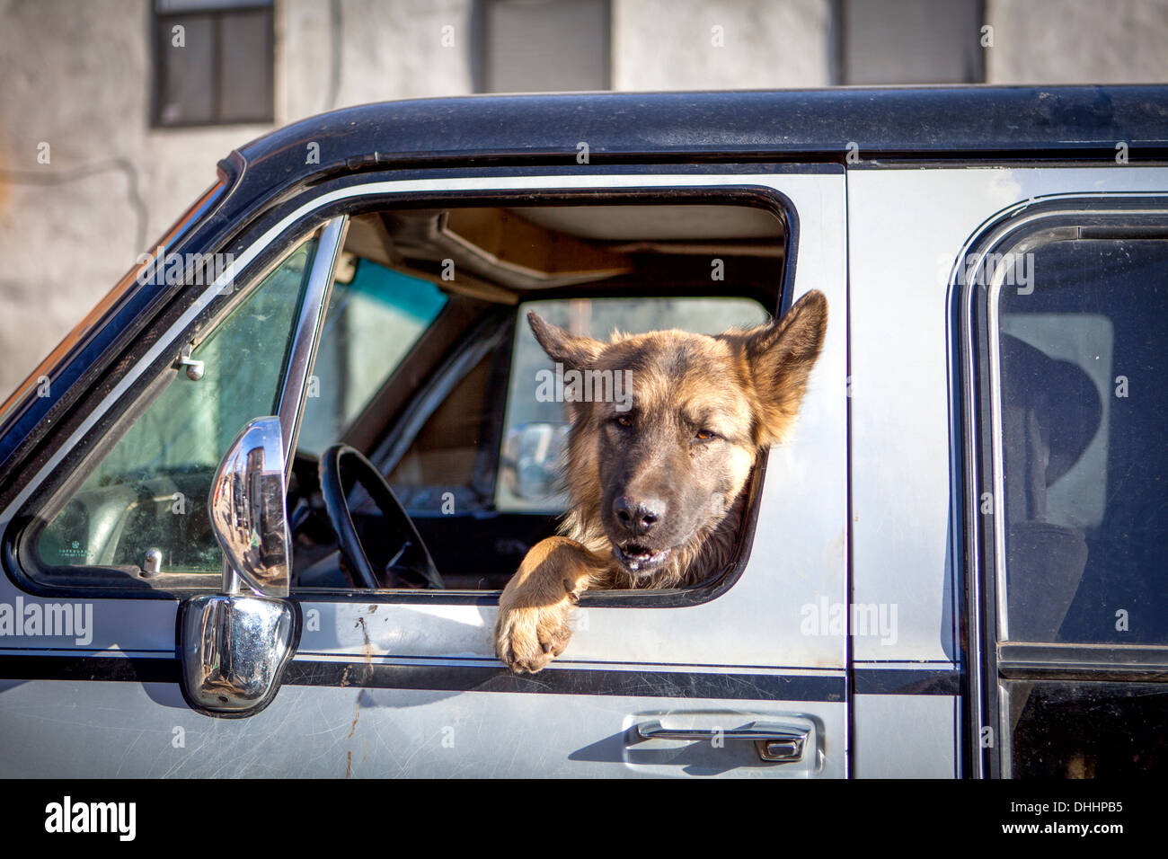 Dog looking out of car window - Stock Image