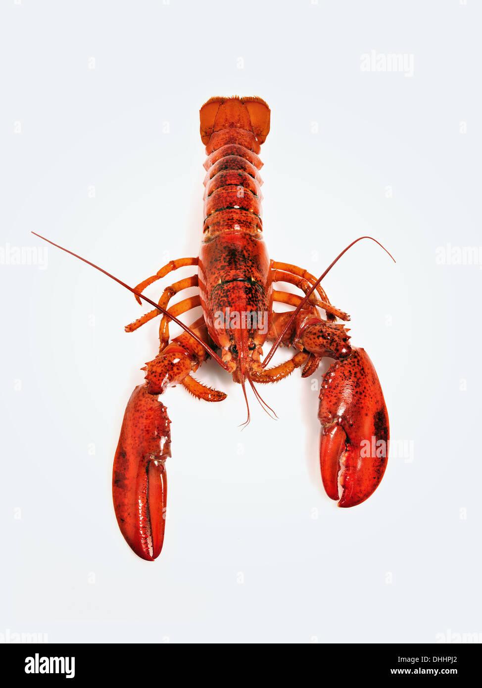 Lobster against white background - Stock Image