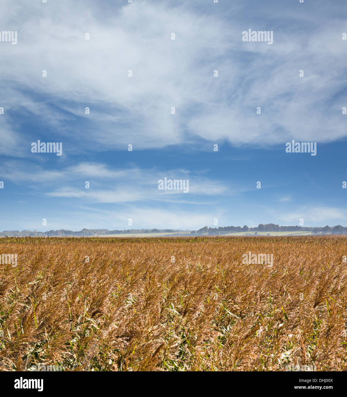 Field of barley under big sky in Suffolk, Eastern England in summer - Stock Image