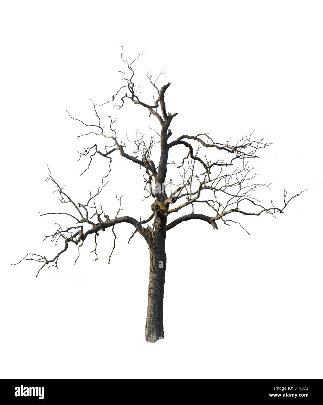Old tree with branches cut out and isolated against white background - Stock Image