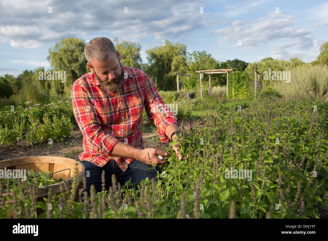 Mature man working on herb farm Stock Photo