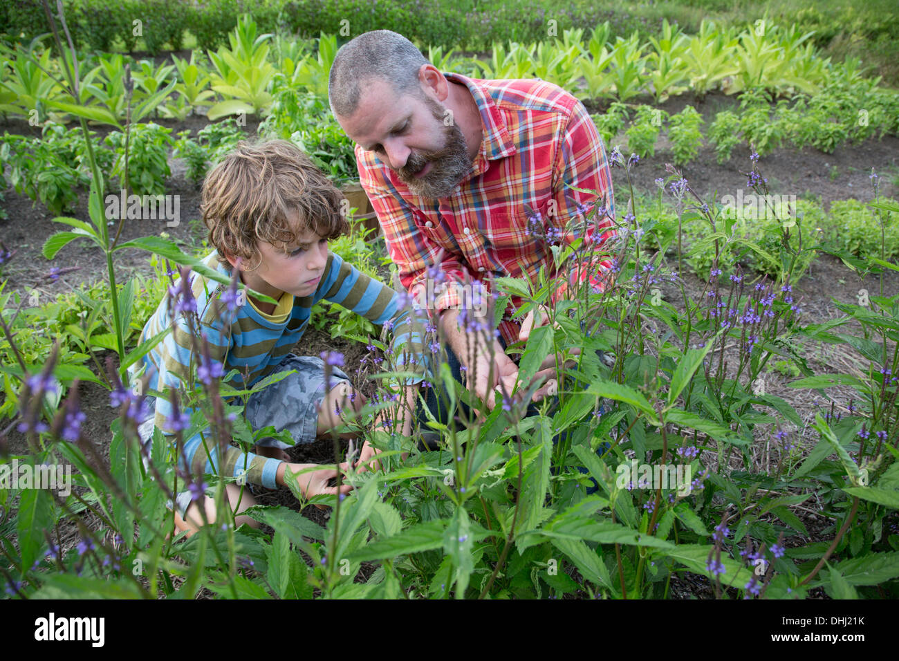 Mature man and son discovering plants on herb farm - Stock Image