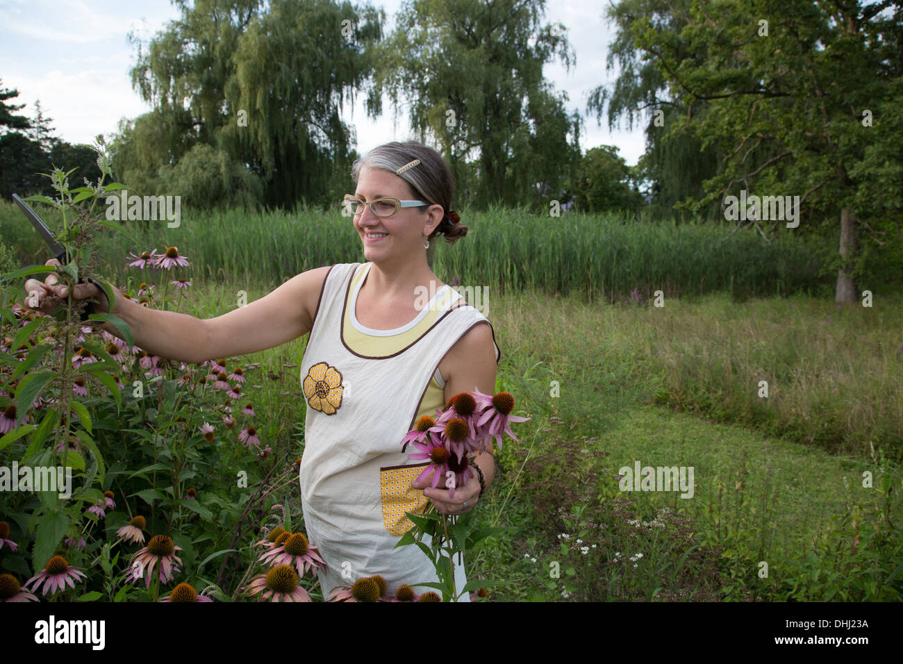 Woman picking echinacea on herb farm - Stock Image
