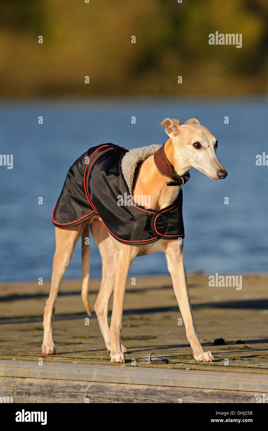 English Whippet wearing a winter coat or jacket - Stock Image