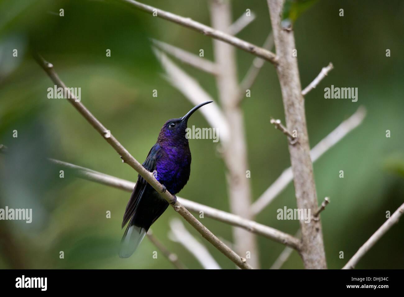 Violet Sabrewing hummingbird, Campylopterus hemileucurus, near Cerro Punta in Chiriqui province, Republic of Panama. Stock Photo