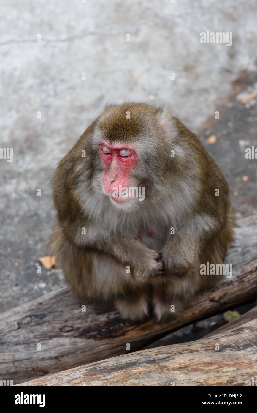Dozing Japanese macaque in a zoo - Stock Image