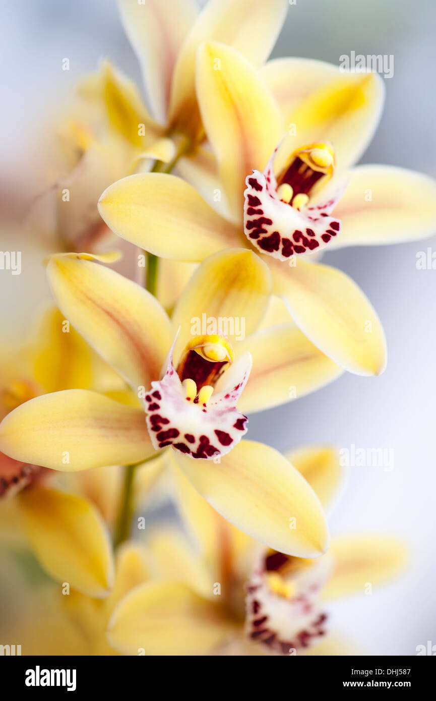 Close-up image of Yellow Cymbidium Rodco's Creation Golden Forever, hybrid orchid flowers also known as Boat orchids. - Stock Image