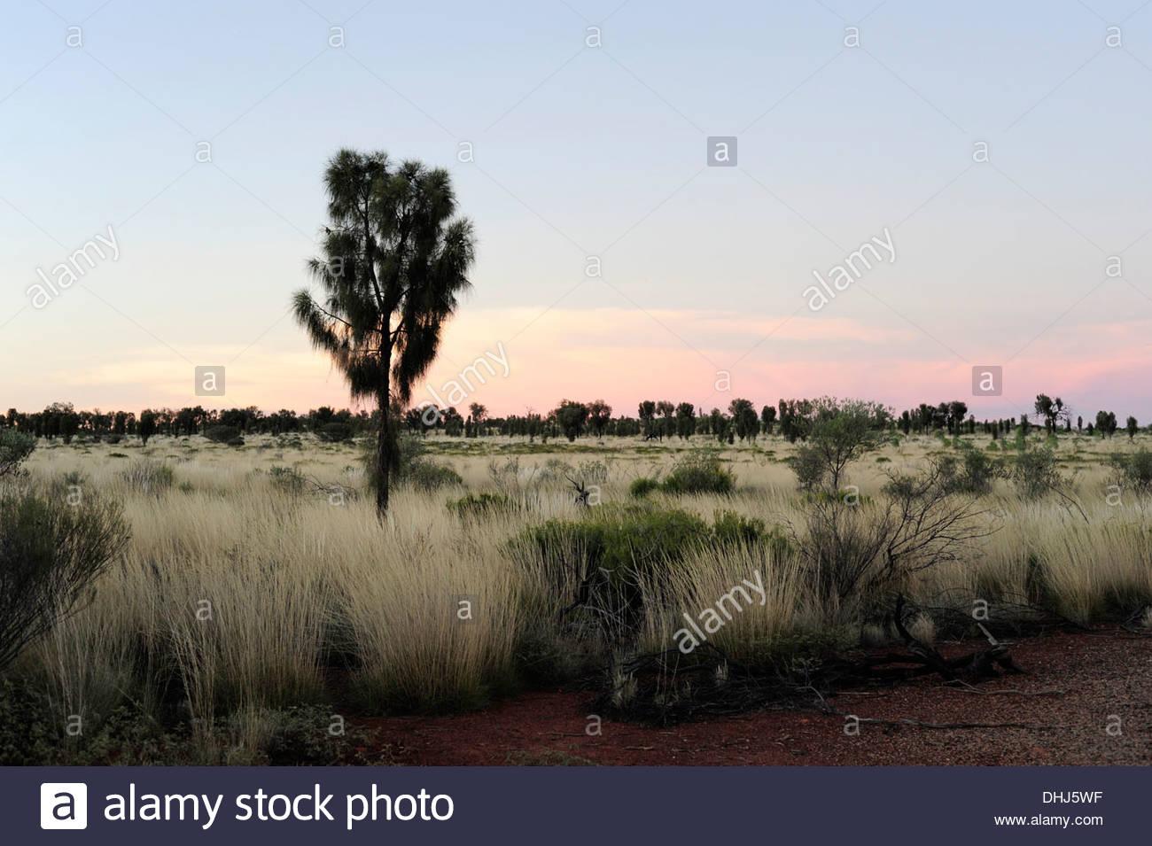 Tree in the Uluru Kata Tjuta National Park at dusk, Outback, Northern Territory, NT, Australia - Stock Image