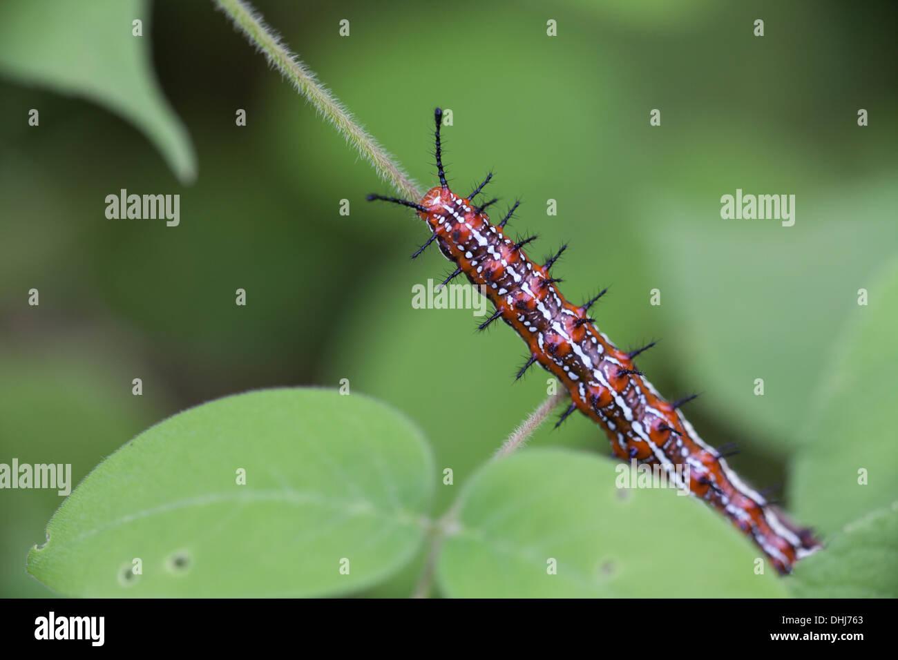 Caterpillar in Cienaga las Macanas Nature Reserve, Herrera province, Republic of Panama. Stock Photo