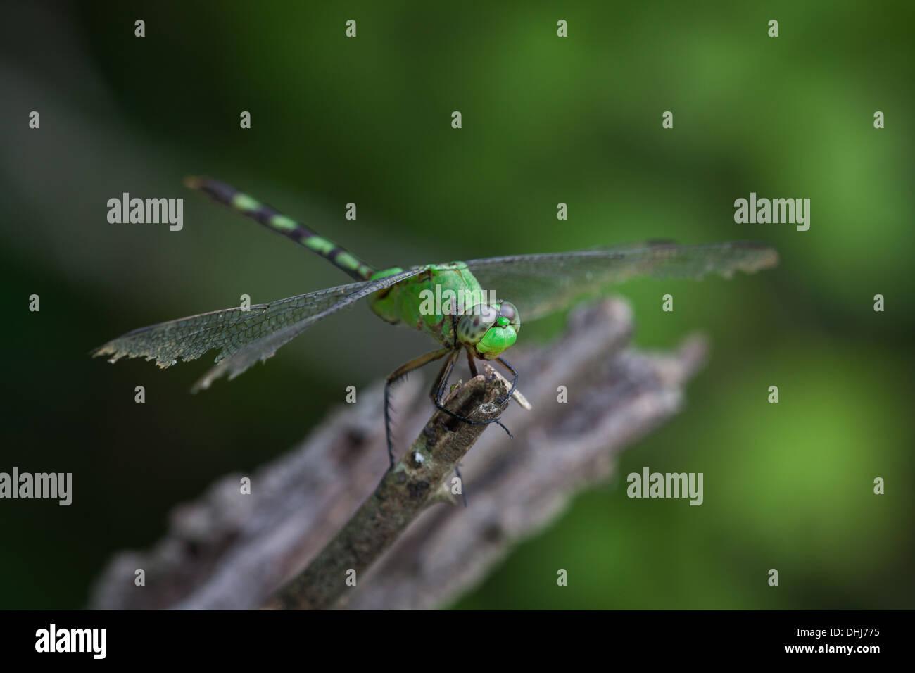Green dragonfly in Cienaga las Macanas, Herrera province, Republic of Panama. Stock Photo