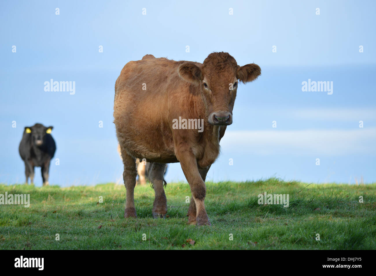 A single cow moves in for a closer look while another black cow remains back, cautiously looking on. - Stock Image