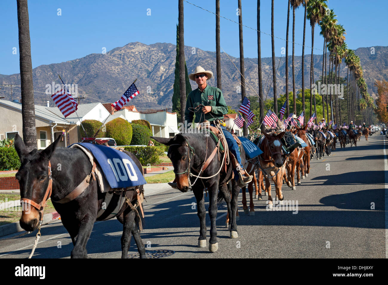 Glendale, California, USA. 11th Nov, 2013. a Veterans Day mule train parade in Glendale, California that is the last leg of a commemorative artist action called 'One Hundred Mules Walking the Los Angeles Aqueduct', which was a month long, 240 mile journey from Owens Valley to Los Angeles that commemorates the 100 year anniversary of the opening of the Los Angeles Aqueduct. Credit:  Ambient Images Inc./Alamy Live News - Stock Image
