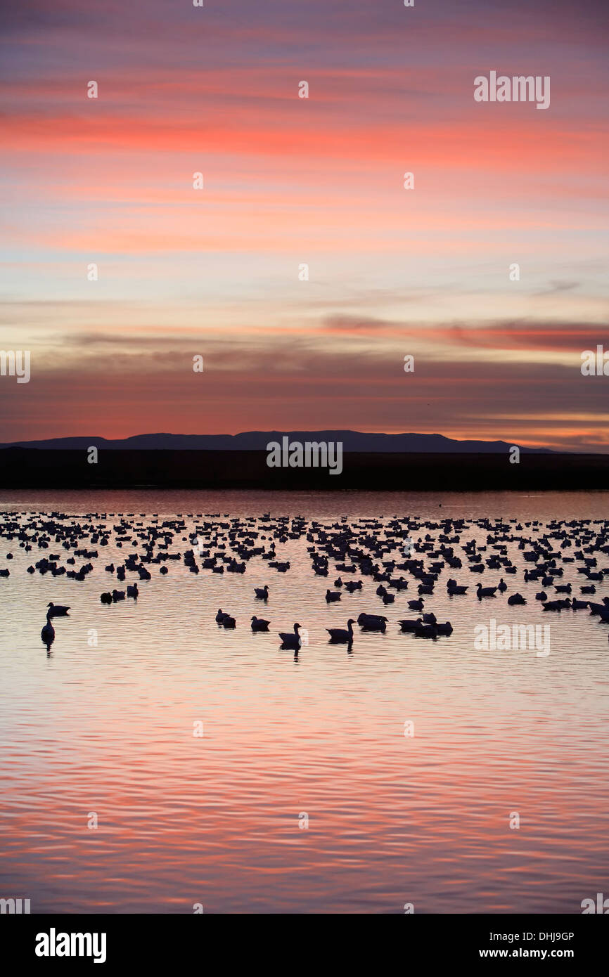 Snow geese (Chen caerulescens) in pond and mountains, Bosque del Apache National Wildlife Refuge, New Mexico USA - Stock Image