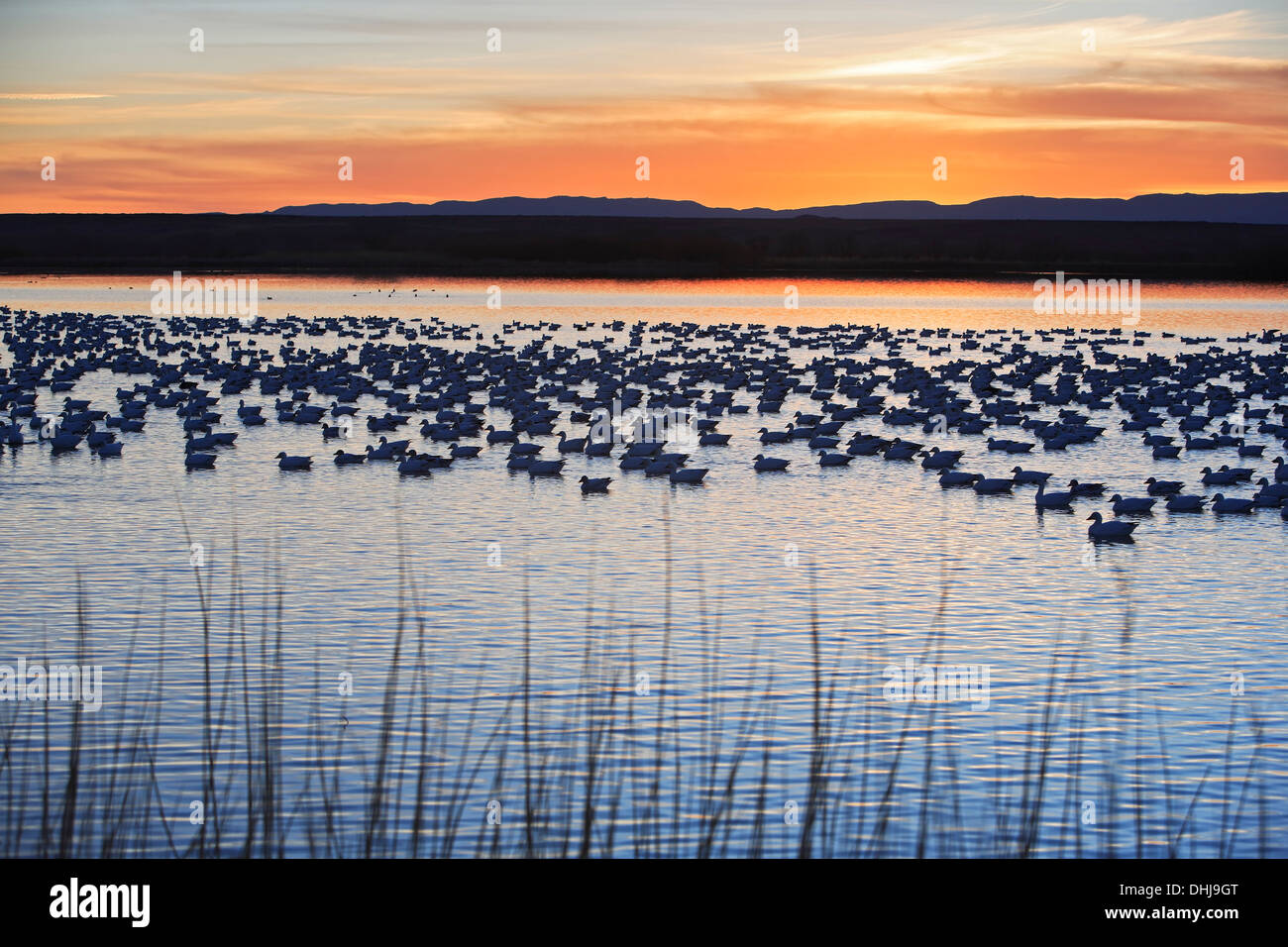 Grasses, snow geese (Chen caerulescens) in pond, and mountains, Bosque del Apache National Wildlife Refuge, New Mexico USA - Stock Image