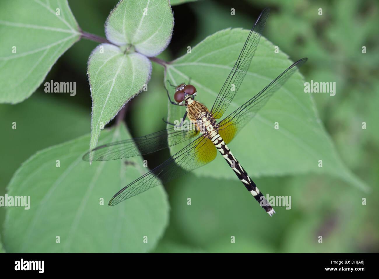 Dragonfly in Cienaga las Macanas Nature Reserve, Herrera province, Republic of Panama. Stock Photo